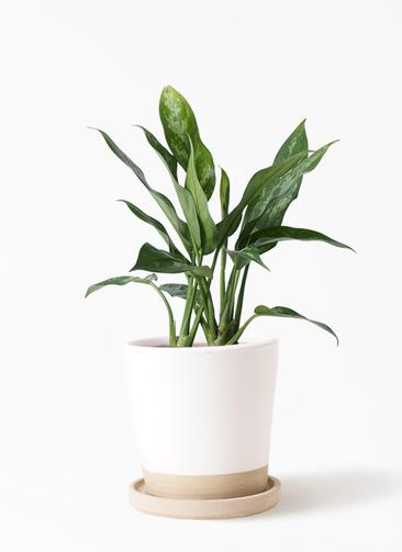 観葉植物 アグラオネマ 4号 マット グレーズ テラコッタ ホワイト 付き