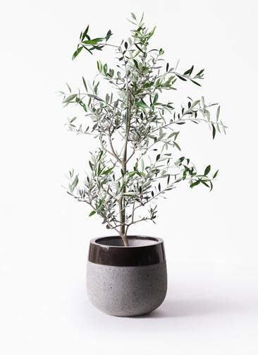 観葉植物 オリーブの木 8号 コレッジョラ ファイバーストーンタウルス 黒 付き