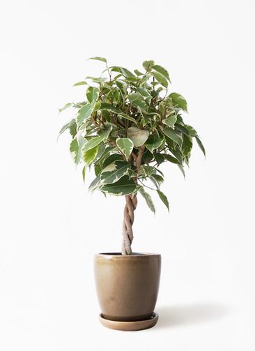観葉植物 フィカス ベンジャミン 4号 プリンセス アステア トール ブラウン 付き
