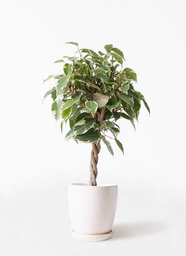 観葉植物 フィカス ベンジャミン 4号 プリンセス アステア トール ホワイト 付き