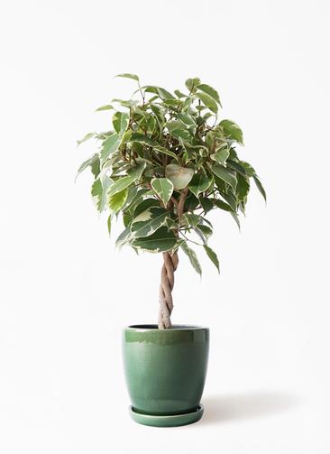 観葉植物 フィカス ベンジャミン 4号 プリンセス アステア トール グリーン 付き