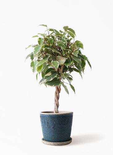 観葉植物 フィカス ベンジャミン 4号 プリンセス フェイバーポット ブルー 付き