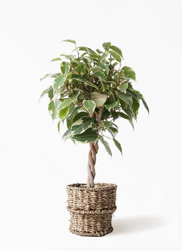 観葉植物 フィカス ベンジャミン 4号 プリンセス バスケット 付き