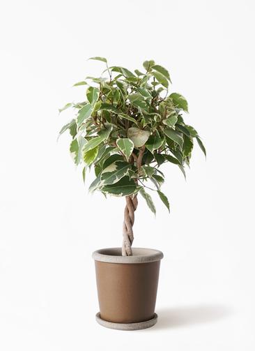 観葉植物 フィカス ベンジャミン 4号 プリンセス キャメルポット ブラウン 付き