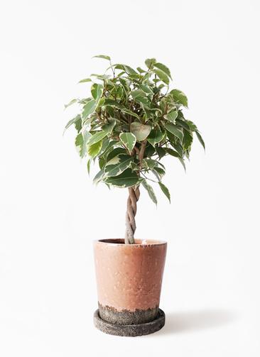 観葉植物 フィカス ベンジャミン 4号 プリンセス ヴィフポット サーモンピンク 付き
