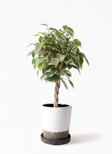 観葉植物 フィカス ベンジャミン 4号 プリンセス ヴィフポット ホワイト 付き