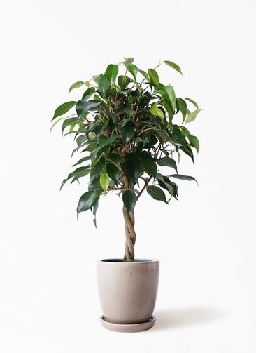 観葉植物 フィカス ベンジャミン 4号 玉造り アステア トール ベージュ 付き