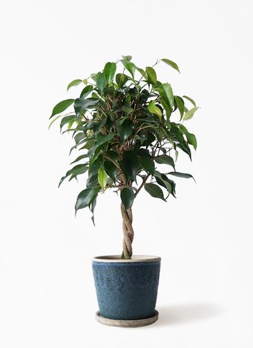 観葉植物 フィカス ベンジャミン 4号 玉造り フェイバーポット ブルー 付き