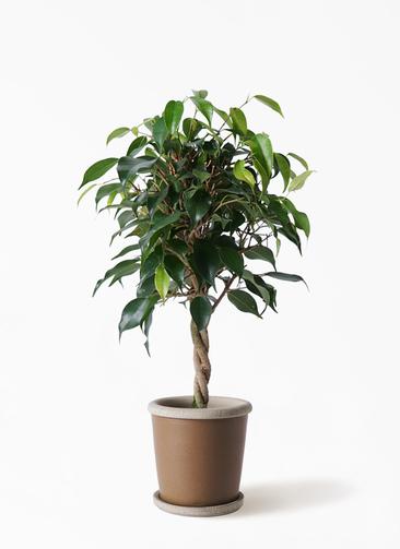観葉植物 フィカス ベンジャミン 4号 玉造り キャメルポット ブラウン 付き