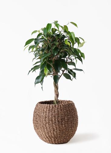 観葉植物 フィカス ベンジャミン 4号 玉造り アバカバスケット スモーク 付き