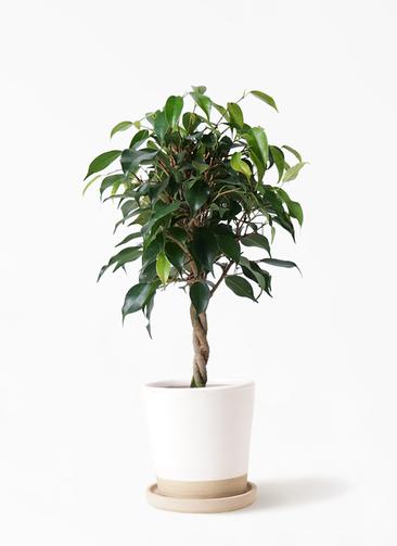 観葉植物 フィカス ベンジャミン 4号 玉造り マット グレーズ テラコッタ ホワイト 付き