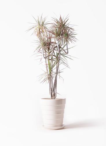 観葉植物 ドラセナ コンシンネ レインボー 10号 曲り サバトリア 白 付き