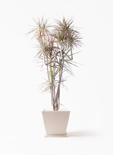観葉植物 ドラセナ コンシンネ レインボー 10号 曲り パウダーストーン 白 付き