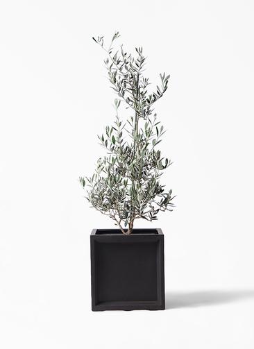 観葉植物 オリーブの木 8号 ピクアル ブリティッシュキューブ 付き