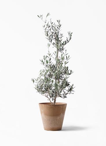 観葉植物 オリーブの木 8号 ピクアル アートストーン ラウンド ベージュ 付き