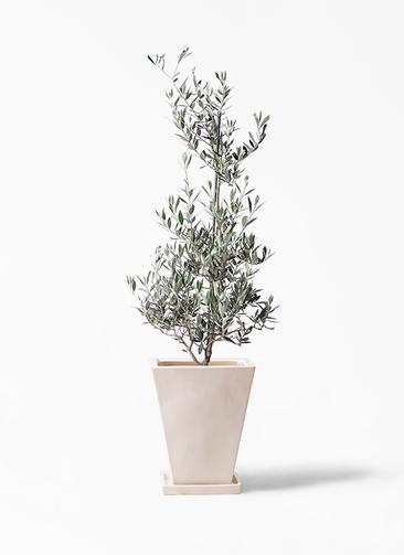 観葉植物 オリーブの木 8号 ピクアル スクエアハット 白 付き