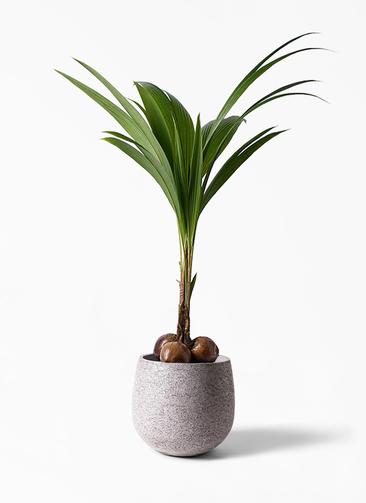 観葉植物 ココヤシ 10号 エコストーンGray 付き