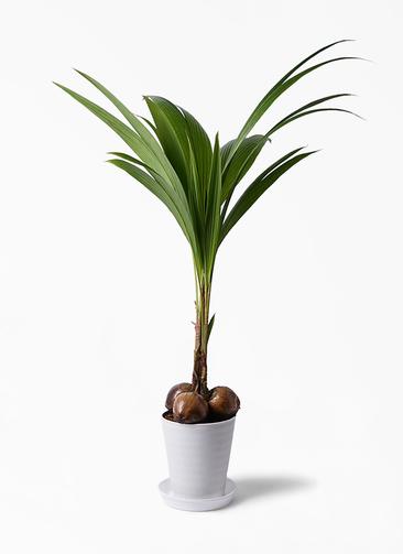 観葉植物 ココヤシ 10号 プラスチック鉢