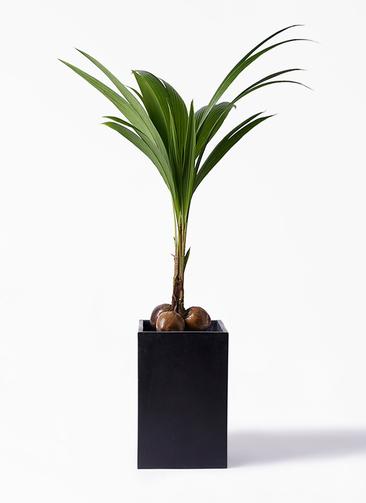 観葉植物 ココヤシ 10号 セドナロング 墨 付き