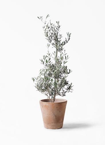 観葉植物 オリーブの木 8号 ピクアル ルーガ アンティコ ソリッド 付き