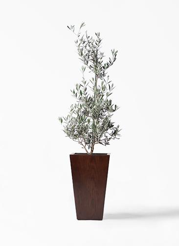 観葉植物 オリーブの木 8号 ピクアル MOKU スクエア 付き