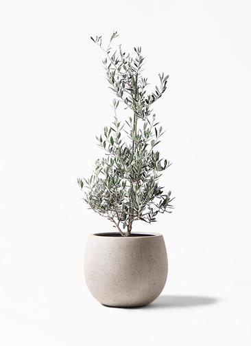 観葉植物 オリーブの木 8号 ピクアル テラニアス ローバルーン アンティークホワイト 付き