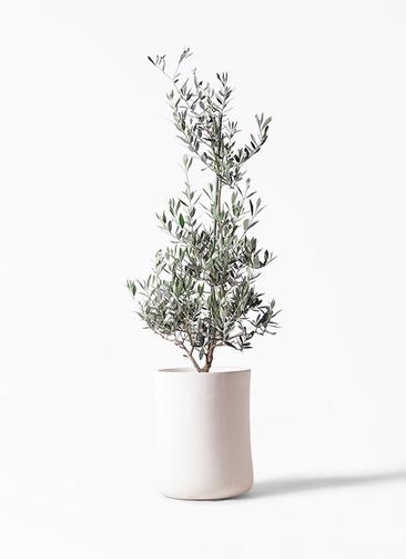 観葉植物 オリーブの木 8号 ピクアル バスク ミドル ホワイト 付き