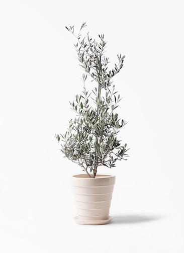 観葉植物 オリーブの木 8号 ピクアル サバトリア 白 付き