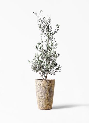 観葉植物 オリーブの木 8号 ピクアル アトランティス クルーシブル 付き