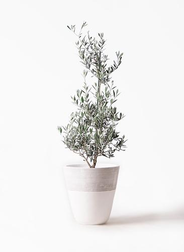 観葉植物 オリーブの木 8号 ピクアル ジュピター 白 付き