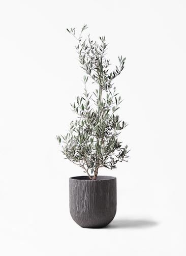 観葉植物 オリーブの木 8号 ピクアル カルディナダークグレイ 付き