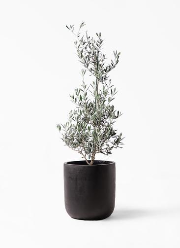 観葉植物 オリーブの木 8号 ピクアル エルバ 黒 付き