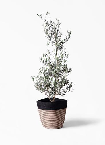 観葉植物 オリーブの木 8号 ピクアル リブバスケットNatural and Black 付き