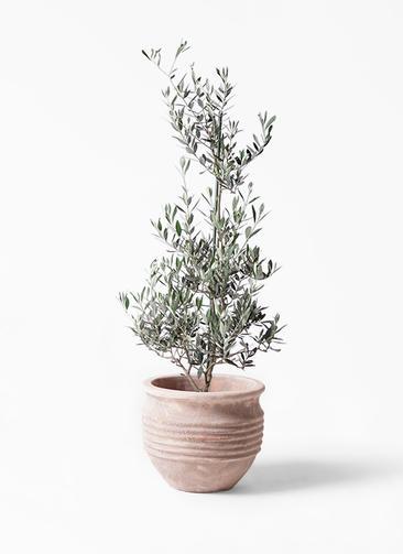 観葉植物 オリーブの木 8号 ピクアル テラアストラ リゲル 赤茶色 付き