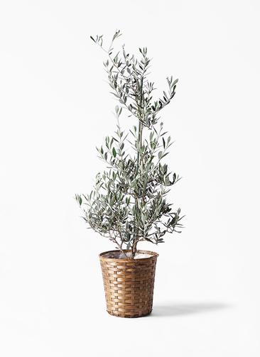 観葉植物 オリーブの木 8号 ピクアル 竹バスケット 付き