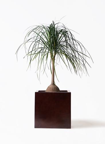 観葉植物 トックリヤシ 10号 MOKU キューブ 付き