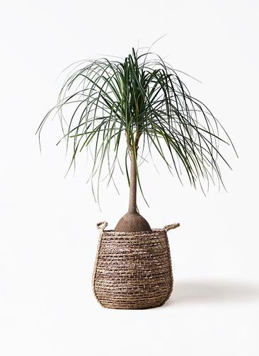 観葉植物 トックリヤシ 10号 リゲル 茶 付き