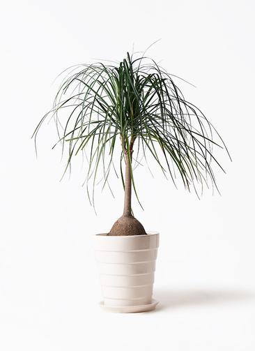 観葉植物 トックリヤシ 10号 サバトリア 白 付き