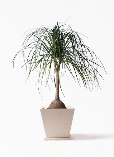 観葉植物 トックリヤシ 10号 パウダーストーン 白 付き