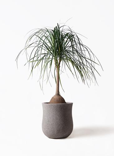 観葉植物 トックリヤシ 10号 アローナラウンド グレイ 付き