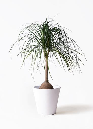 観葉植物 トックリヤシ 10号 フォリオソリッド 白 付き