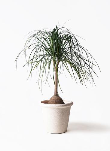 観葉植物 トックリヤシ 10号 ビアスリムス 白 付き