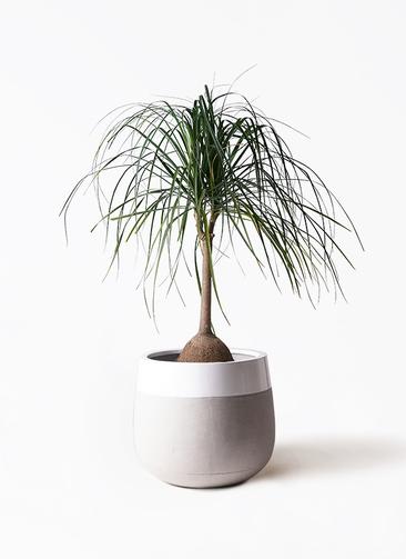 観葉植物 トックリヤシ 10号 ファイバーストーンタウルス ミドル 白 付き