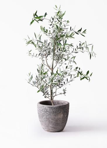 観葉植物 オリーブの木 8号 コレッジョラ アビスソニアミドル 灰 付き