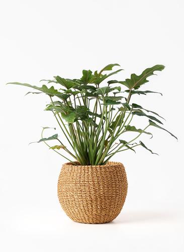 観葉植物 クッカバラ 4号 アバカバスケット タン 付き
