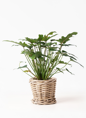 観葉植物 クッカバラ 4号 グレイラタン 付き