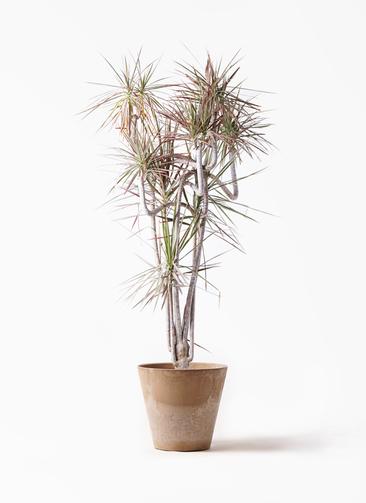 観葉植物 ドラセナ コンシンネ レインボー 10号 曲り アートストーン ラウンド ベージュ 付き