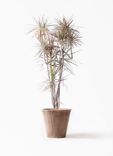 観葉植物 ドラセナ コンシンネ レインボー 10号 曲り ルーガ アンティコ ソリッド 付き