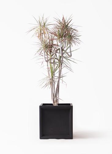 観葉植物 ドラセナ コンシンネ レインボー 10号 曲り ブリティッシュキューブ 付き