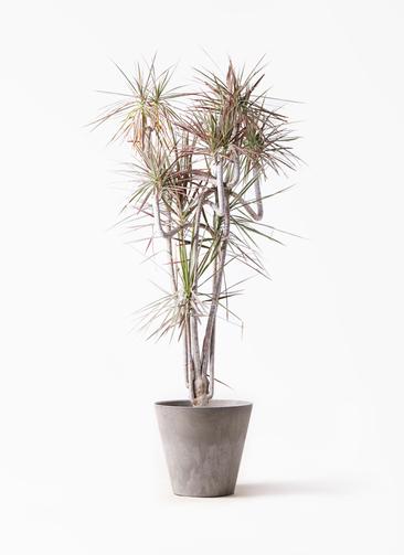 観葉植物 ドラセナ コンシンネ レインボー 10号 曲り アートストーン ラウンド グレー 付き